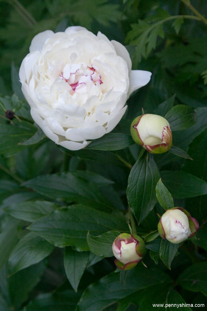 2016 peonies and buds