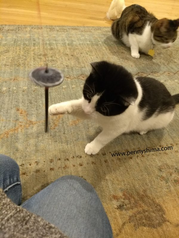 foster kitten socialization for extreme introverts
