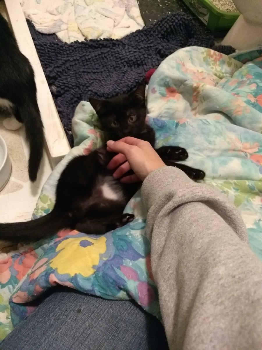 foster kitten dora enjoying a belly rub
