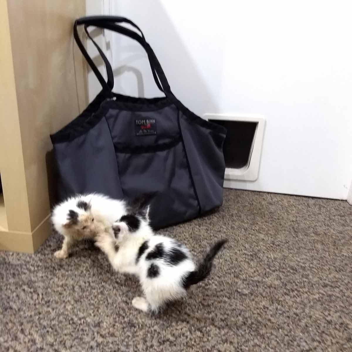 Black & White foster kittens ~6 weeks playing