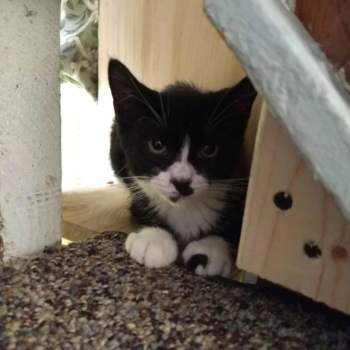 Black & White ~9wk old foster kitten posing on stairs