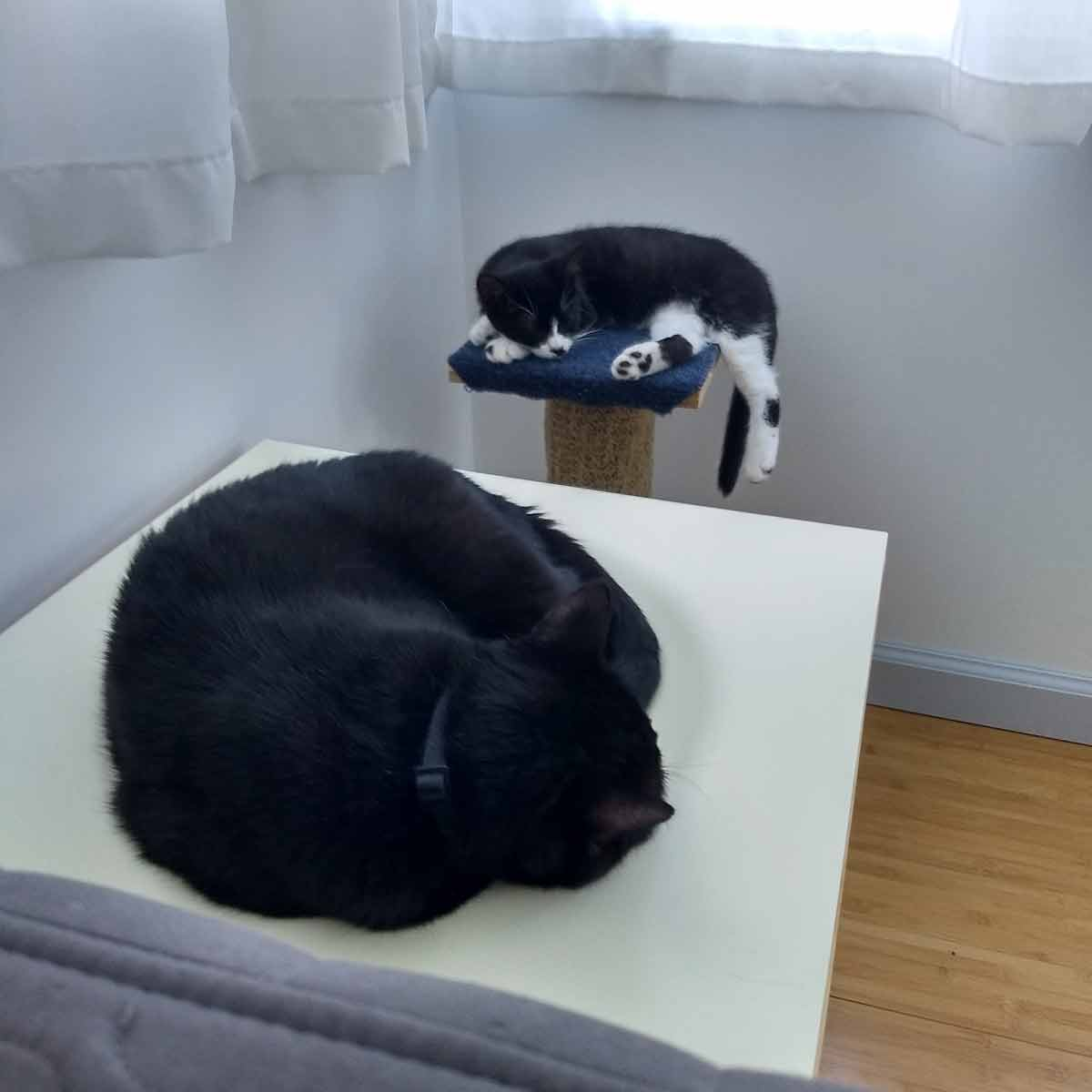 Shadow curled up on bowl table and foster kitten Dot napping on cat tree