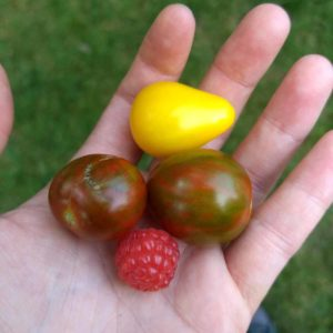 open hand holding two cherry tomatoes and one yellow cherry tomato and one raspberry