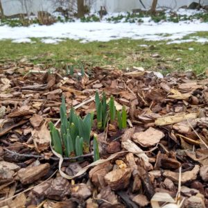 spring bulbs pushing through mulch in January with snow in the background