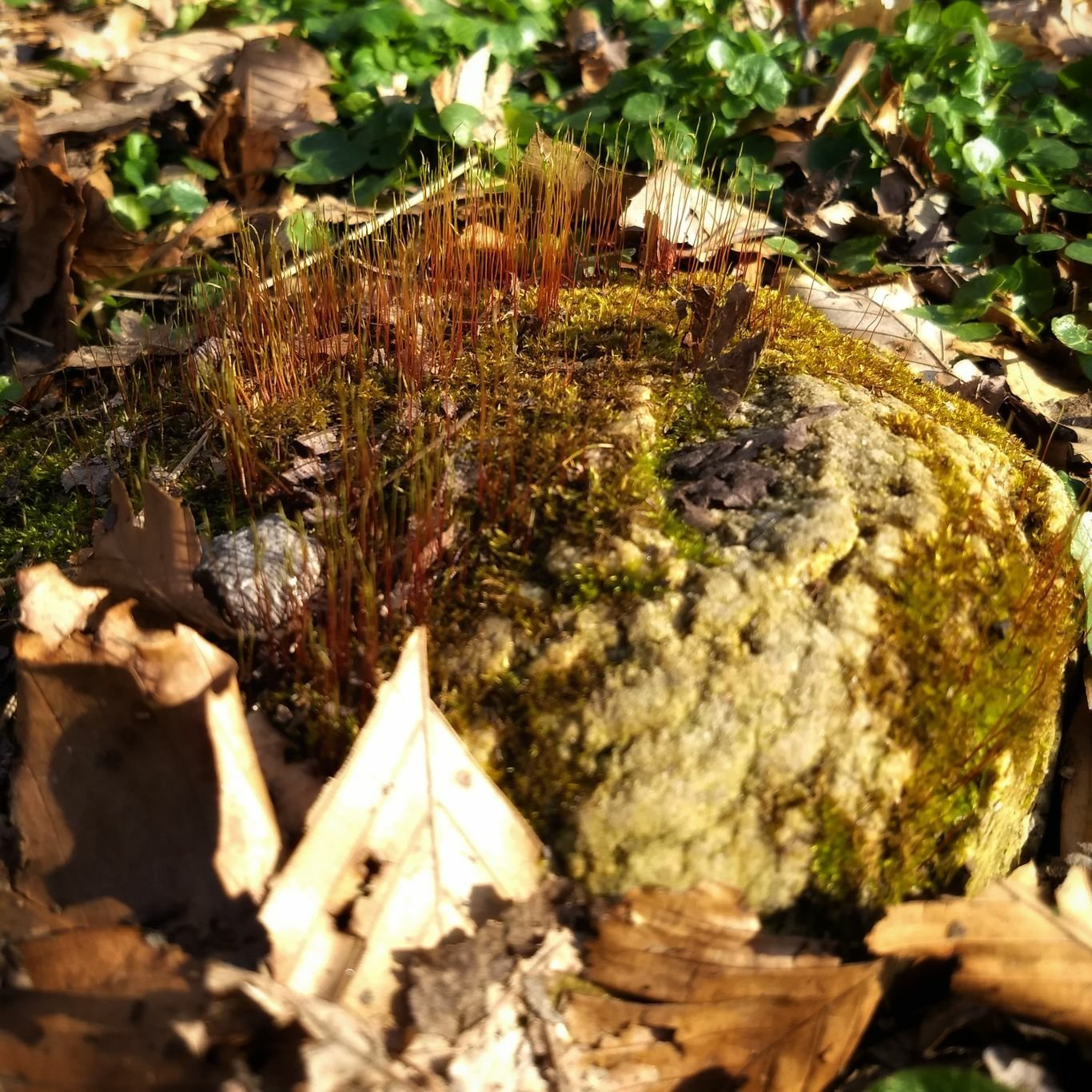 Rock with moss in bed of dried leaves and beginning of verdant spring growth.