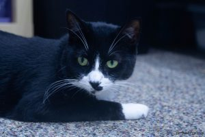 photo of black and white cat laying on carpet looking intently toward the camera