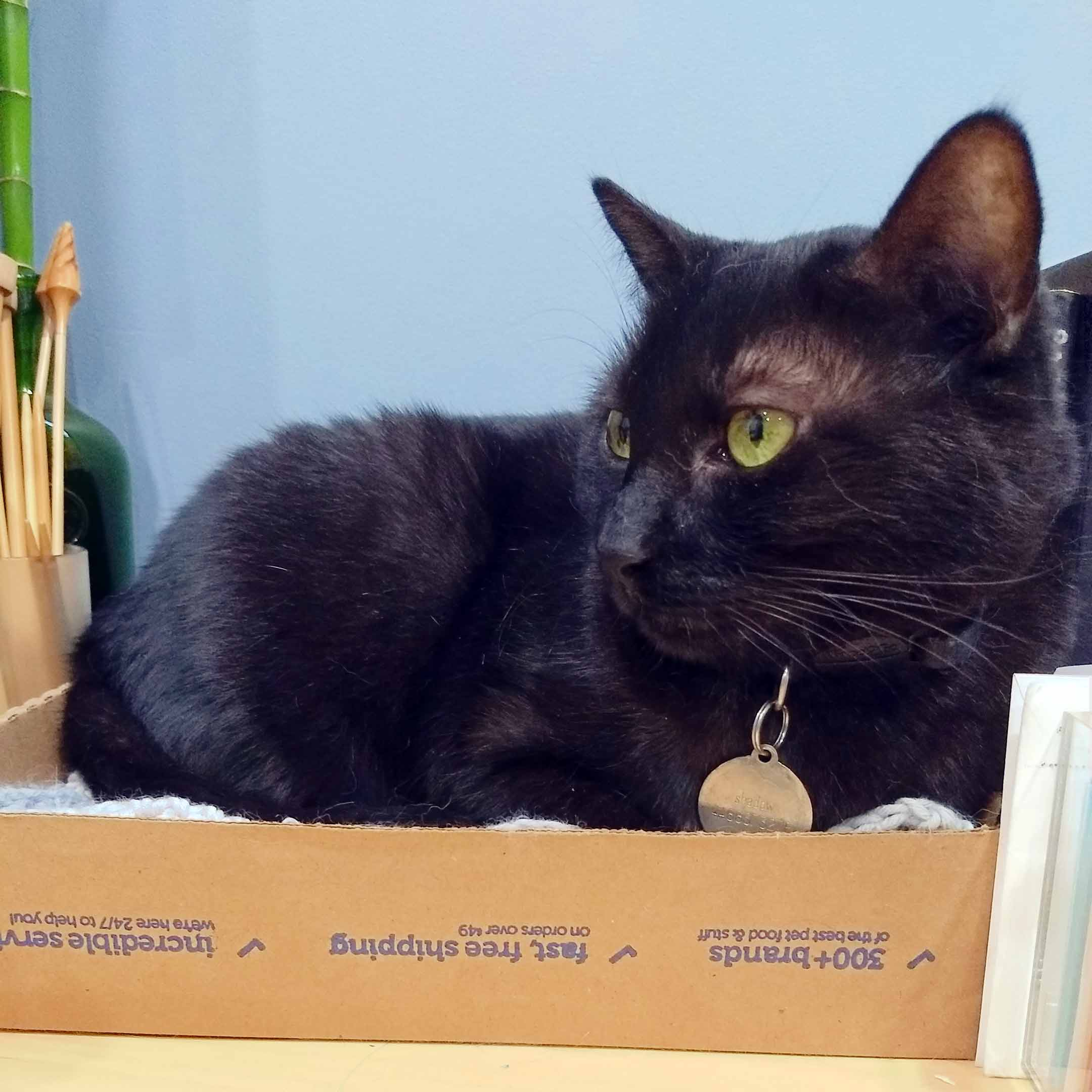 Black cat, named Shadow, in a small box looking off to the side.