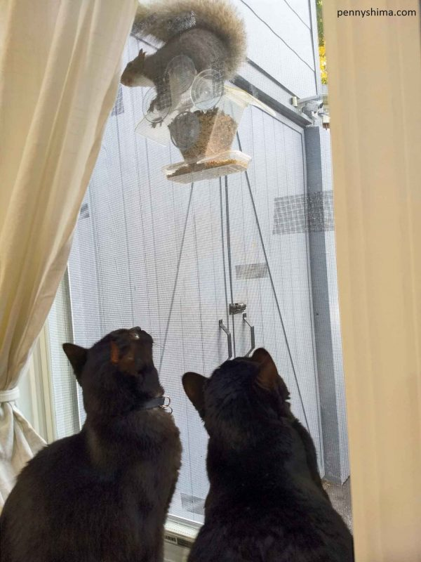Squirrel standing on bird feeder suction cupped to window. Two black cats staring from inside.