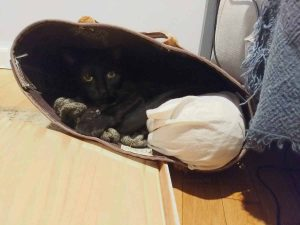 Black cat curled up in a brown canvas tote laying on its side. There is an undyed cotton fabric bag inside (holding a knitting project), His paws are curled around some green knitted fabric.