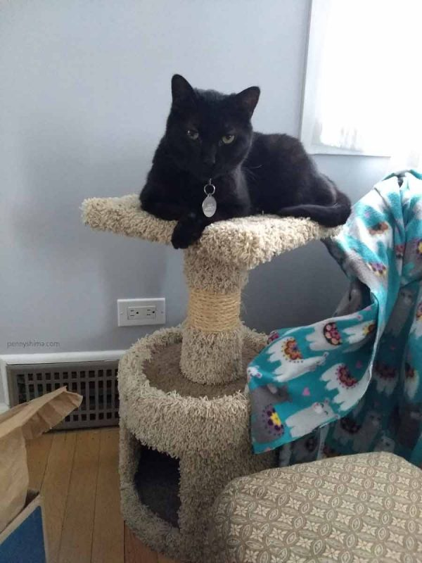 Black cat on the top platform of a small cat tree. The cat looking at the camera.c