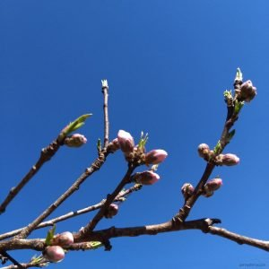 blue sky with a branch showing beginning of pink blossoms and leaves