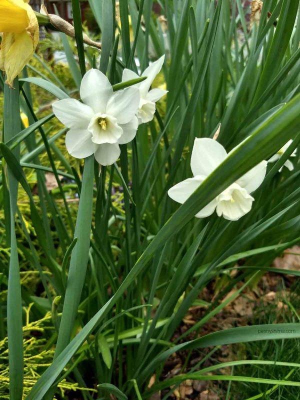 white daffodil plants