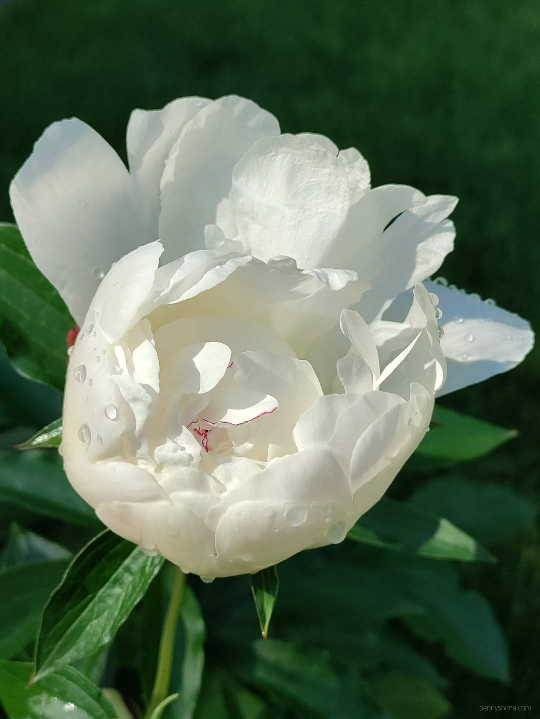 white peony blossom with the center featuring a thin line of magenta. there a dew drops on some of the petals.