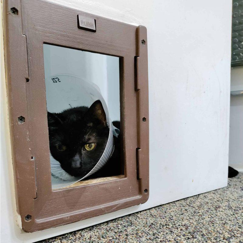 Black cat with a cone looking through an open cat door