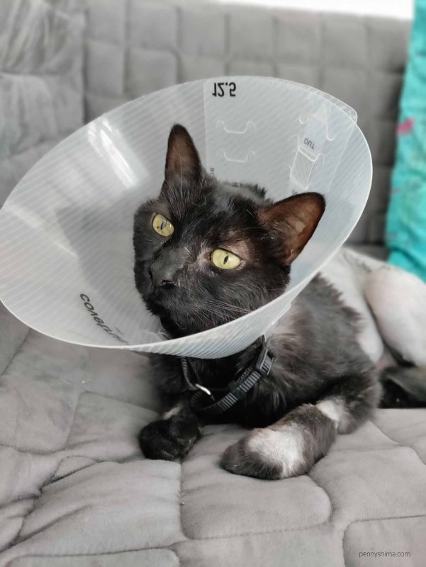 Black cat wearing cone sitting on a grey couch