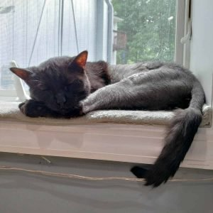 Black Cat Napping on a windowsill. His fur is growing back.