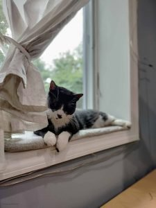 Tuxedo cat, Dot on windowsill her front paws are hanging off the edge and her head is up looking at the photographer