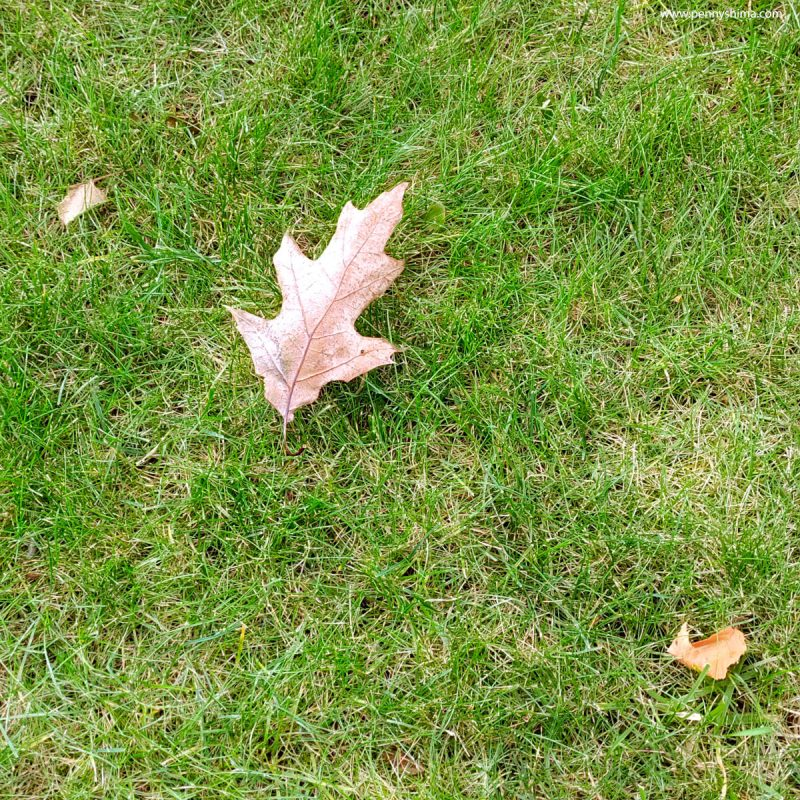 green grass lawn with brown oak leaf.