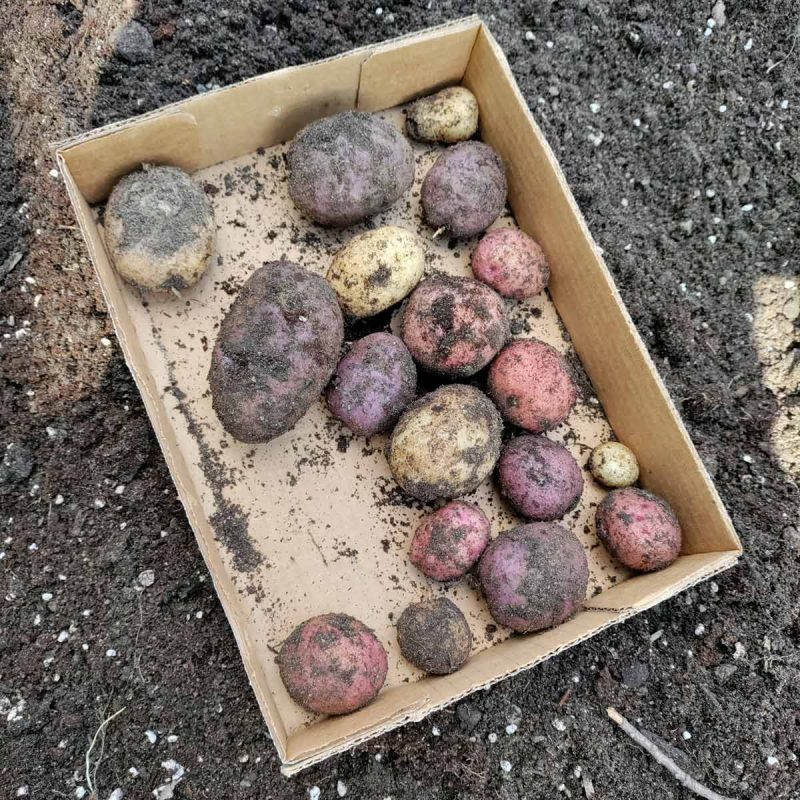 A cardboard tray on soil with several small potatoes -- red, white, and purple filling about 3/4 of the container in one layer.