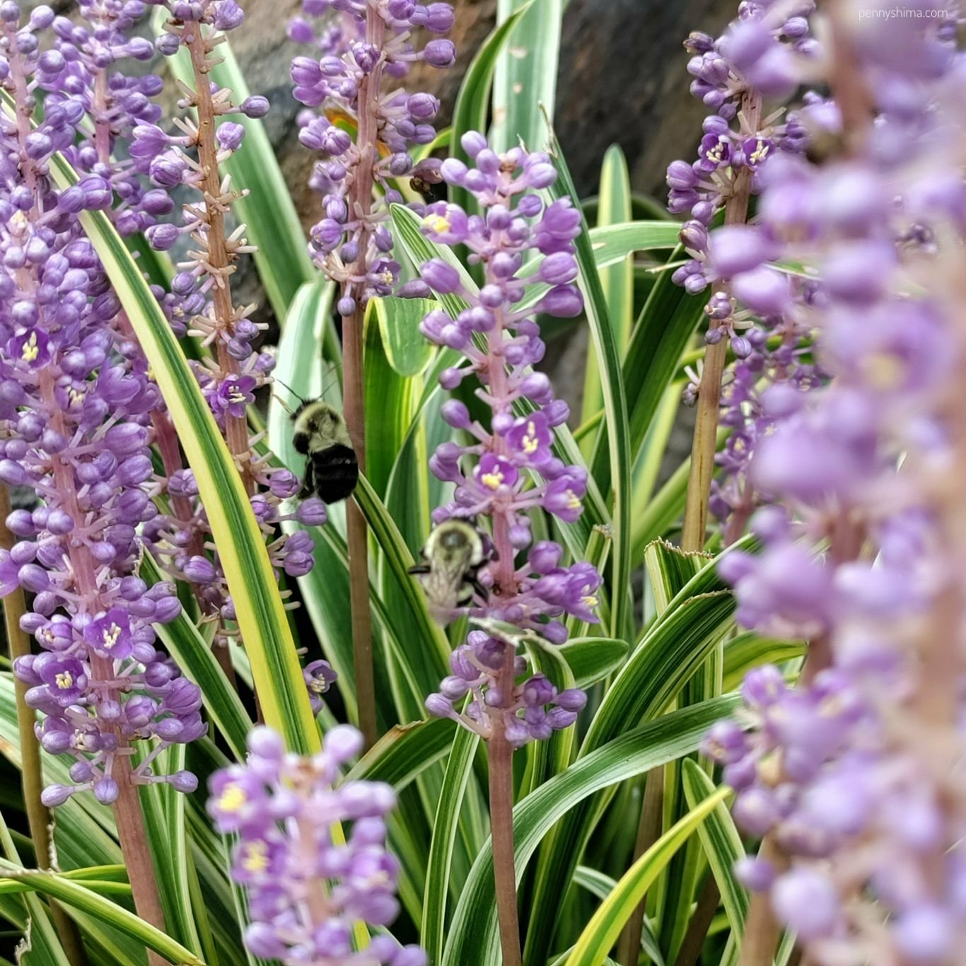 Ornamental grass with purple flowers. Two bees are enjoying the pollen.