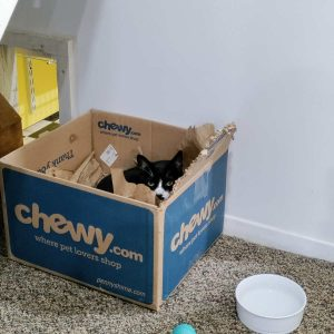 Tuxedo Cat snuggled into a chewy.com box that has been well chewed. There is a water bowl and a cat toy nearby.